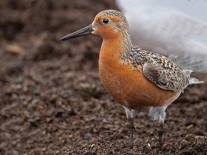 Threatened Red Knot birds are among the many animals to feast on the protein rich horseshoe crab eggs